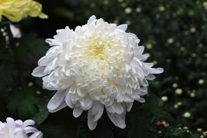 菊花品種越山.JPG