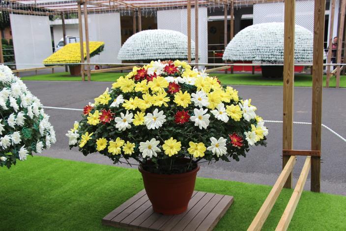 進行嫁接能在同一株看到不同顏色的大立菊.JPG