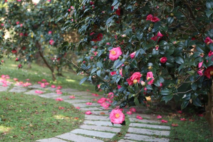 花卉中心的茶花[另開新視窗]