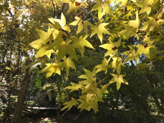 花卉中心的黃楓[另開新視窗]