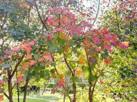 花卉中心的楓葉[另開新視窗]