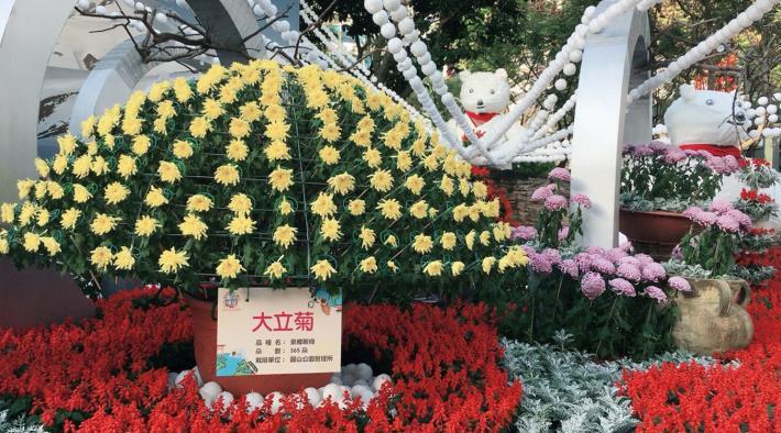 """圖3. 大立菊""""泉鄉新綠""""擁有滿滿的365朵花"""