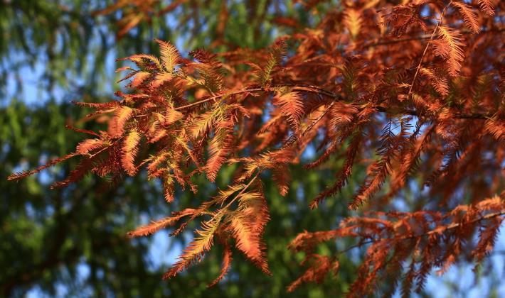 4.轉色中的落羽杉。