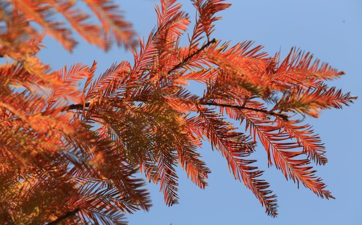 3.轉色中的落羽杉。