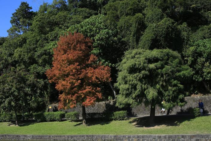 7.碧湖公園九曲橋頭的落羽杉(左)與墨西哥落羽杉(右)。