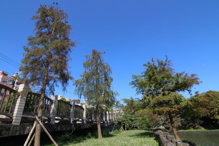 6.大湖街168巷欄干旁的池杉,與湖畔的落羽杉(右)。