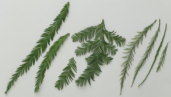 8.葉形與大小:(右)池杉,(中)落羽杉,(左)墨西哥落羽松。