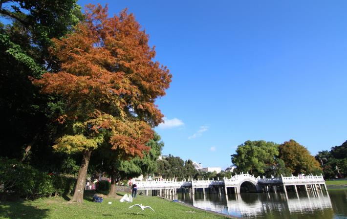 2.碧湖公園九曲橋頭的落羽杉。