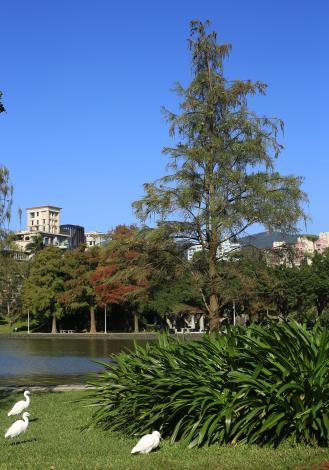 9.大湖公園錦帶橋西側的池杉,結實纍纍。