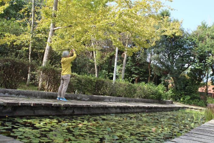 園區水池旁銀杏