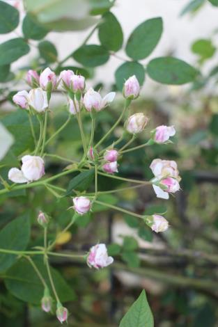 圖10、含苞待放的玫瑰花苞2.JPG