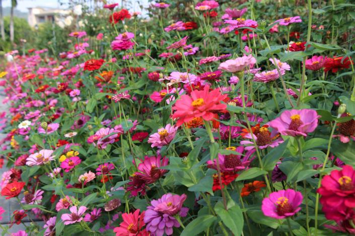 圖11、美麗的百日草圍繞者臺北玫瑰園.JPG