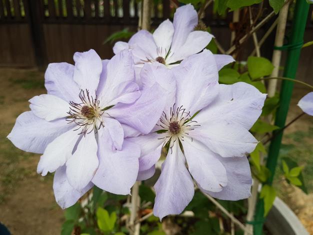 圖7、它的花形大,花朵又多,往往使人不得不駐足觀賞並且發出讚嘆之聲