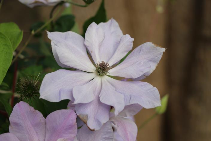 圖6、鐵線蓮有「藤本花卉皇后」美稱.JPG