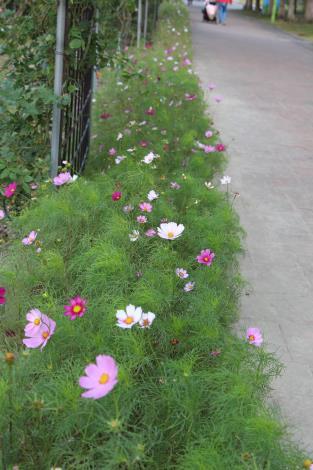 圖13、小巧可愛的波斯菊圍繞者臺北玫瑰園.JPG