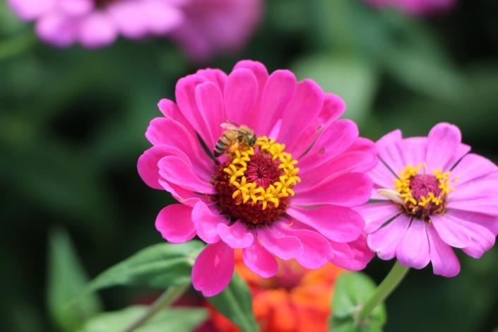 圖12、蜜蜂也在盛開的百日草裡穿梭.JPG