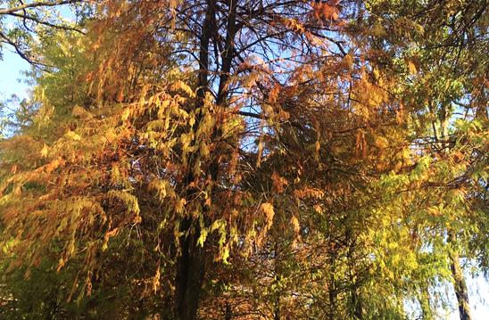 圖3. 落羽松葉片呈現金黃一片橙色、棕紅、黃色的葉片交錯