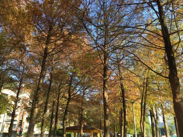 圖1.至誠公園擁有美麗的落羽松群