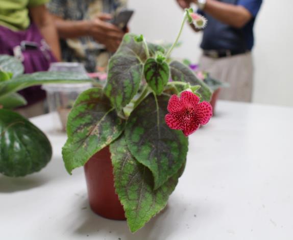 圖6. 3月26日「苦海無邊-花葉俱美的苦苣苔科花卉」課程