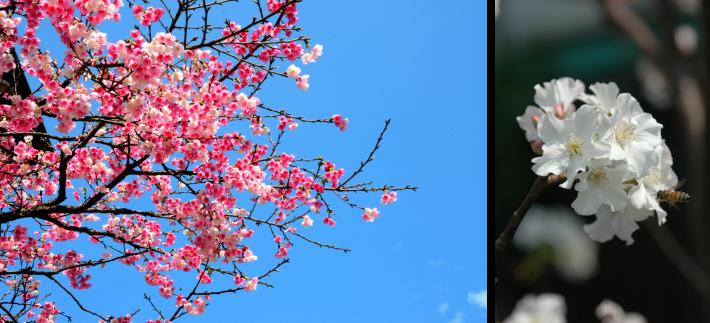 圖2.1月29日「永結櫻緣-櫻花品種認識與栽培應用」課程