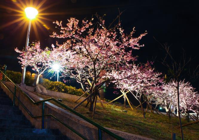 樂活公園夜櫻(資料照片共2張)