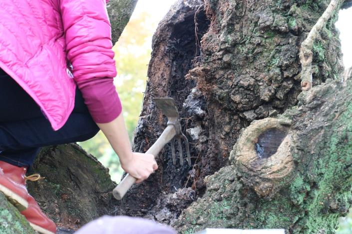 圖二、挖除原先流蘇樹木腐朽的部分.JPG[開啟新連結]