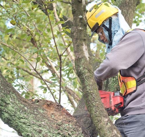 圖六、修剪流蘇樹上的枯枝[開啟新連結]