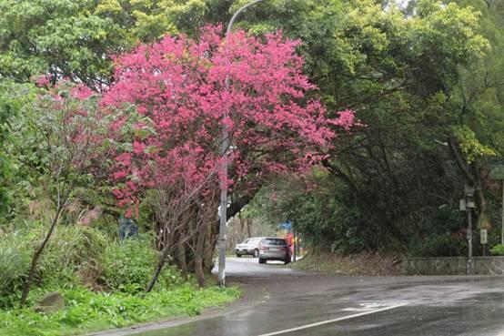 (圖4) 中社路2段翠山街口山櫻花[另開新視窗]