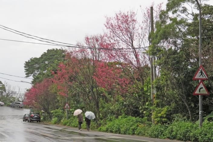 (圖7) 「雙溪社區站」旁的山櫻花[另開新視窗]