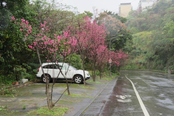 (圖5) 中社路2段「雙溪站二」山櫻花[另開新視窗]