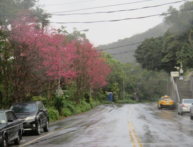 (圖8) 「雙溪社區站」往「大崙尾山步道口」途中的山櫻花[另開新視窗]