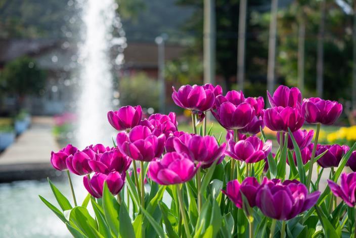 圖4.西式庭園噴泉與紫色鬱金香美相得奕彰