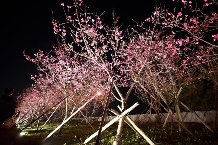 2. 第2區八重櫻燈光投射(資料照片)。.JPG