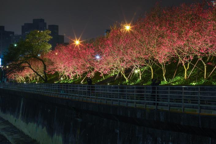 1.八重櫻櫻花林共4張