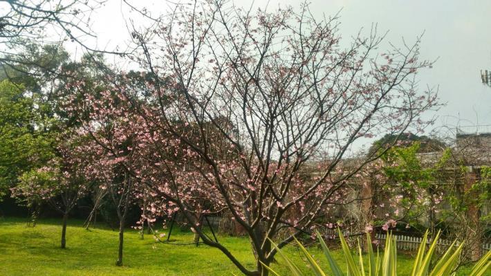 花卉中心內的昭和櫻照片共2張