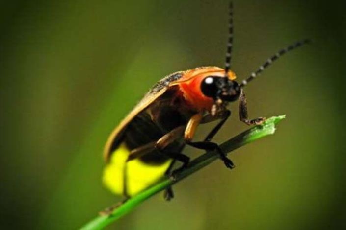 圖5. 螢火蟲是很重要的環境評估指標。[開啟新連結]