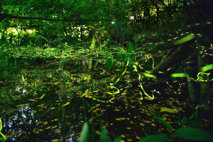 圖1、榮星花園公園生態池中捕捉到的美麗螢光