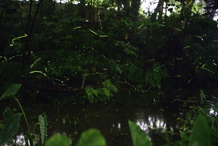 圖2、在榮星花園生態池中很容易可以看到他們的身影呢!