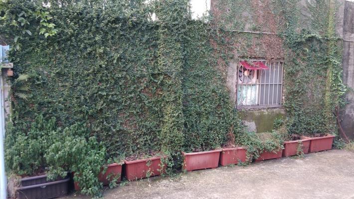 圖3.佈滿薛荔綠化古風小白屋外牆