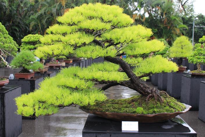 圖2.得過3次金獎的五葉松盆景.JPG