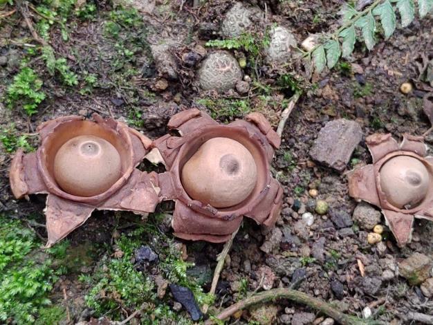 圖2.她出現的位置在台灣青莢葉與鄰近樹木下的地面,很好找的喔!
