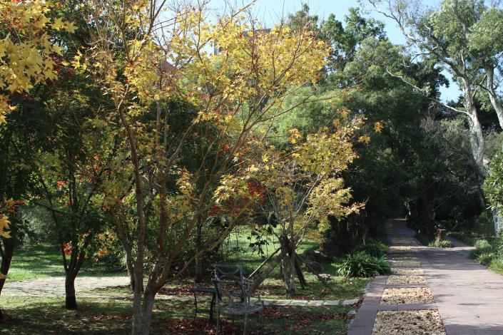 圖5. 楓葉轉黃