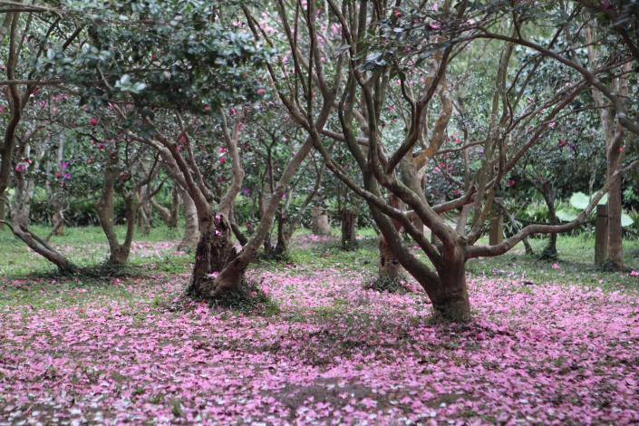 圖2. 茶梅粉紅花毯.JPG
