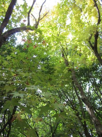 圖4. 楓葉轉黃.JPG