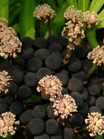 圖2.近看白色雄花的構造,大家覺得像不像毛球呢?下方可愛的黑色球狀物是果實。