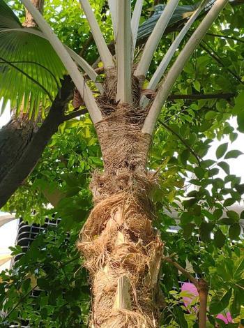 圖3. 葉柄基部擴大成纖維狀的鞘。