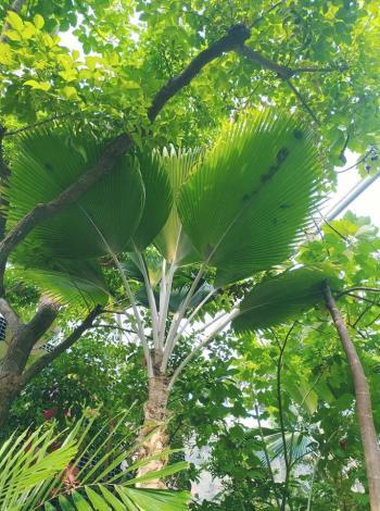 圖2.高大的斐濟櫚令人過眼難忘。