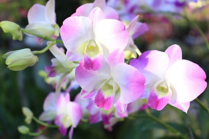 圖5. 「掐角石斛蘭」花瓣兩邊掐紅角,市面上很少見.JPG