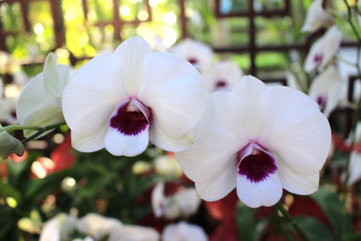 圖4. 「大白紅心石斛蘭」白花紅唇瓣,優雅高貴