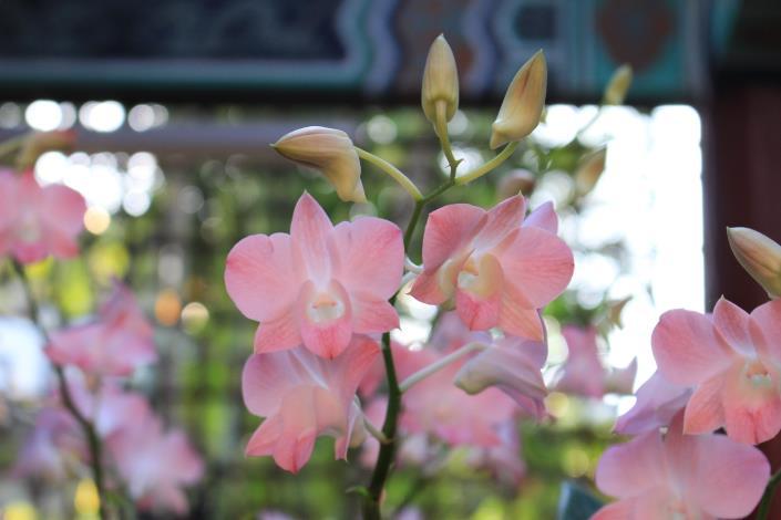 圖3. 「水蜜桃石斛蘭」可愛的水蜜桃粉.JPG